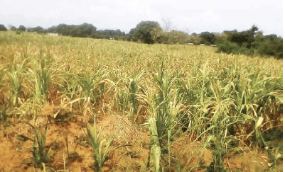 Hunger Looms as Pests Threaten Staple Crops in Malawi